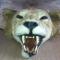 Lion d'Afrique - Panthera leo (II/B) pré-convention : beau spécimen d'un grand mâle présenté en peau plate - 1612 €